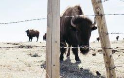 Buffalo (Bison) on the Plains of Colorado Stock Photos