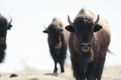 Buffalo (Bison) on the Plains of Colorado Stock Photo
