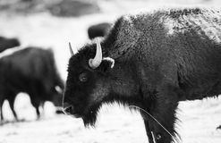 Buffalo (Bison) on the Plains of Colorado Royalty Free Stock Photography