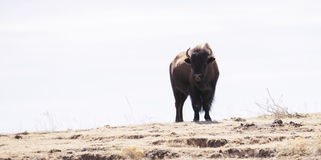 Buffalo (Bison) on the Plains of Colorado Royalty Free Stock Photos