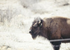 Buffalo (Bison) on the Plains of Colorado Stock Photos