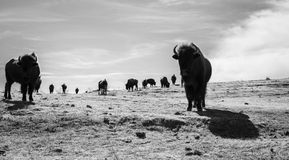 Buffalo (Bison) on the Plains of Colorado Royalty Free Stock Images