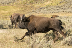 Buffalo Bison running in Lamar Valley Yellowstone Stock Photography