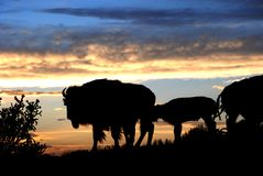 Buffalo Bison Silhouette on Ridge at Sunset. Bison walk a ridge at sunset under a deeply colored sky, with a cactus at left of screen Royalty Free Stock Photo