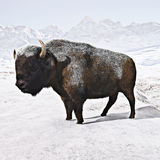Buffalo (Bison) with a snow covered background Royalty Free Stock Photos