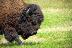 Portrait of a Buffalo in a grass field. royalty free stock image