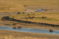 Buffalo Bison in Yellowstone Stock Image