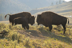 Buffalo Bison in Yellowstone Stock Photo