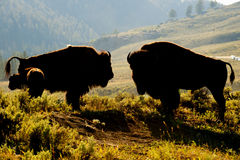 Buffalo Bison in Yellowstone sunset. Buffalos silhouette (mother, father and calf) in sunset backlight in Yellowstone Lamar valley during summer time Stock Images