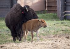 Buffalo bison with young Royalty Free Stock Images