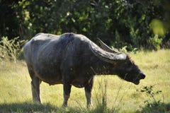 Buffalo bitten by a Komodo dragon Royalty Free Stock Photos