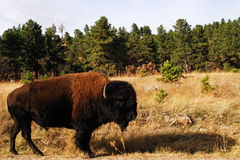 The Buffalo Stock Images