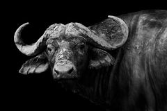 Buffalo in black and white. Artistic black and white image of a wild African buffalo Royalty Free Stock Photography