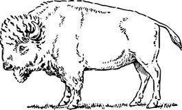 Hand Drawn Buffalo /eps Stock Photos