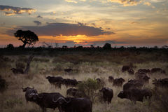 Buffalo - Okavango Delta - Botswana. Sunrise over a herd of Buffalo in the Xakanaxa region of the Okavango Delta in northern Botswana Stock Image