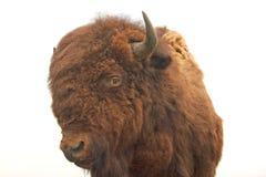 Buffalo bourré Photos libres de droits