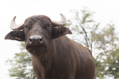 Buffalo breeding Royalty Free Stock Photography