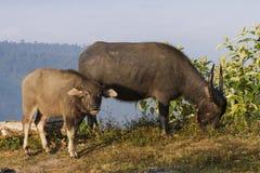 Buffalo (bubalis de Bubalus) en Thaïlande Image libre de droits