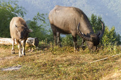Buffalo (bubalis de Bubalus) en Thaïlande Photographie stock