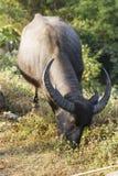 Buffalo (bubalis de Bubalus) en Thaïlande Photos stock