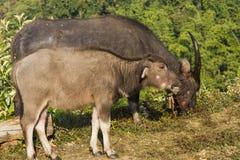 Buffalo (bubalis de Bubalus) en Thaïlande Photos libres de droits
