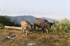Buffalo (Bubalus bubalis) in Thailand Stock Photos