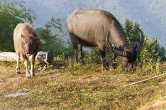 Buffalo (Bubalus bubalis) in Thailand Stock Photography