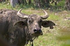 Buffalo (bufalo d'acqua) Fotografia Stock Libera da Diritti