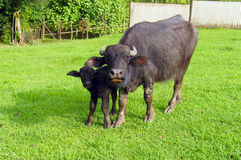 Buffalo and buffalo calf on the lawn. In the courtyard of the farm Stock Photos