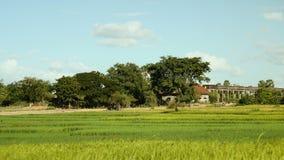Buffalo, buffalo herd, herding, wind blowing, paddy rice stock footage