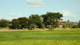 Buffalo, buffalo herd, herding, wind blowing, paddy rice stock video footage