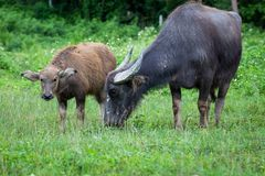 Buffalo and buffalo mothers eat grass in rural farm in Thailand royalty free stock photography