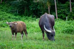 Buffalo and buffalo mothers eat grass in rural farm in Thailand royalty free stock image