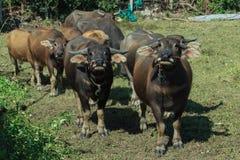 Buffalo, Buffalo Thailand,animal Stock Photos