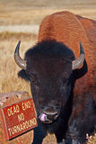 Buffalo Bull βισώνων που κολλά έξω τη γλώσσα του στο εθνικό πάρκο σπηλιών αέρα στους μαύρους λόφους της νότιας Ντακότας ΗΠΑ Στοκ φωτογραφίες με δικαίωμα ελεύθερης χρήσης
