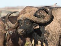 Buffalo Bull με τη ζάλη των κέρατων Στοκ Φωτογραφίες
