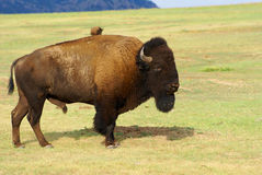 Buffalo Bull Royalty Free Stock Images