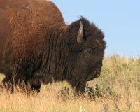 Buffalo bull. Male American bison (buffalo) in the grasslands of South Dakota, USA Stock Photos