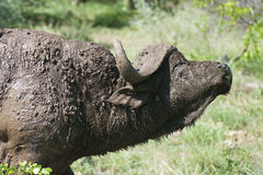 Buffalo bull Stock Image