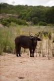 Buffalo bull Royalty Free Stock Images