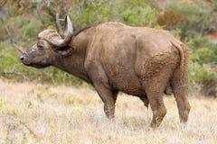 Buffalo Bull Stock Image