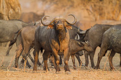Buffalo bull Stock Photography