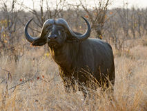 Buffalo Bull del trofeo fotografie stock libere da diritti