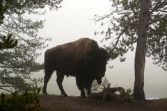 Buffalo bull in early morning fog Royalty Free Stock Photography