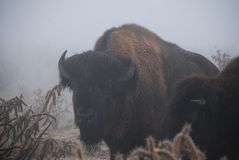 Buffalo Bull Emerges from Misty Landscape Royalty Free Stock Images