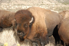 Buffalo Bull in the herd sunny Royalty Free Stock Images