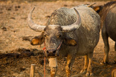 Buffalo bull with huge horns. Stock Image