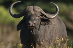 Buffalo bull. Lone buffalo bull staring at the camera Stock Photos