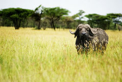 Buffalo Bull Stock Images