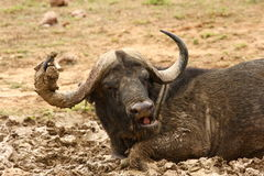 Buffalo bull in the mud. Royalty Free Stock Image